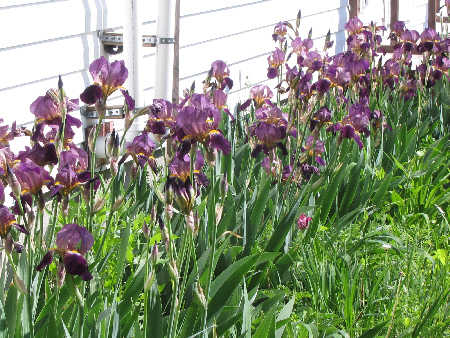 Irises along the front of the house